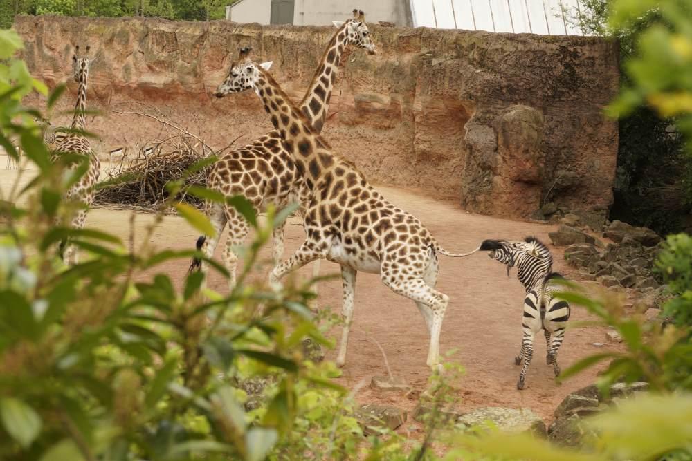 Na, ich glaub' mich tritt ein Pferd! Das Zebra beißt der Giraffe in den Schwanz! Foto: Kia Kahawa